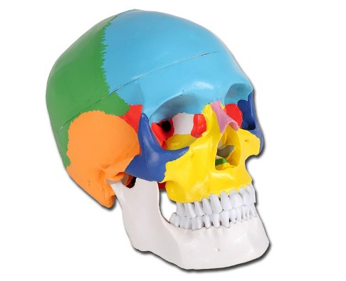 Modelli Tavole anatomiche